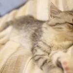 ネコの買い方・入手方法について