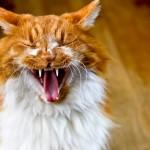ネコの妊娠と兆候