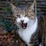 純血種ネコの繁殖を計画的に行う