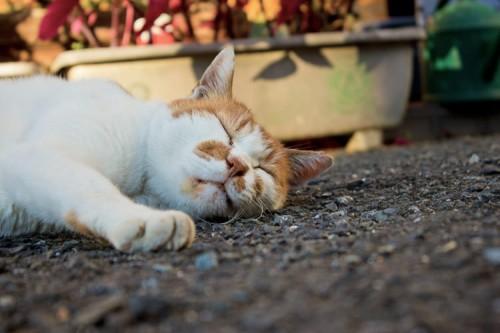 ネコの純血種の交配