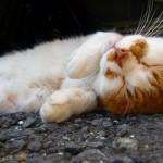 ネコの妊娠期間中に注意すること